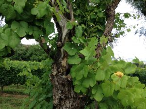 Molle tree